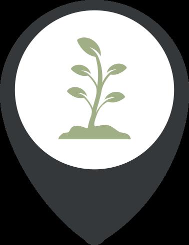 Selección brotes eucalipto
