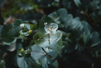 Cultivar Eucalipto